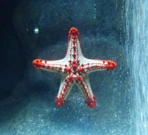 étoile à cornes rouges